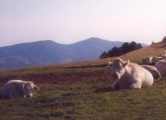 Oh la vache - entre Rossberg et Thann.JPG