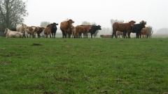 comines, werwicq, marche, bétail
